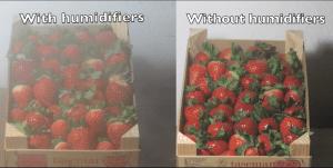 Prueba Humidificadores en fresas 01
