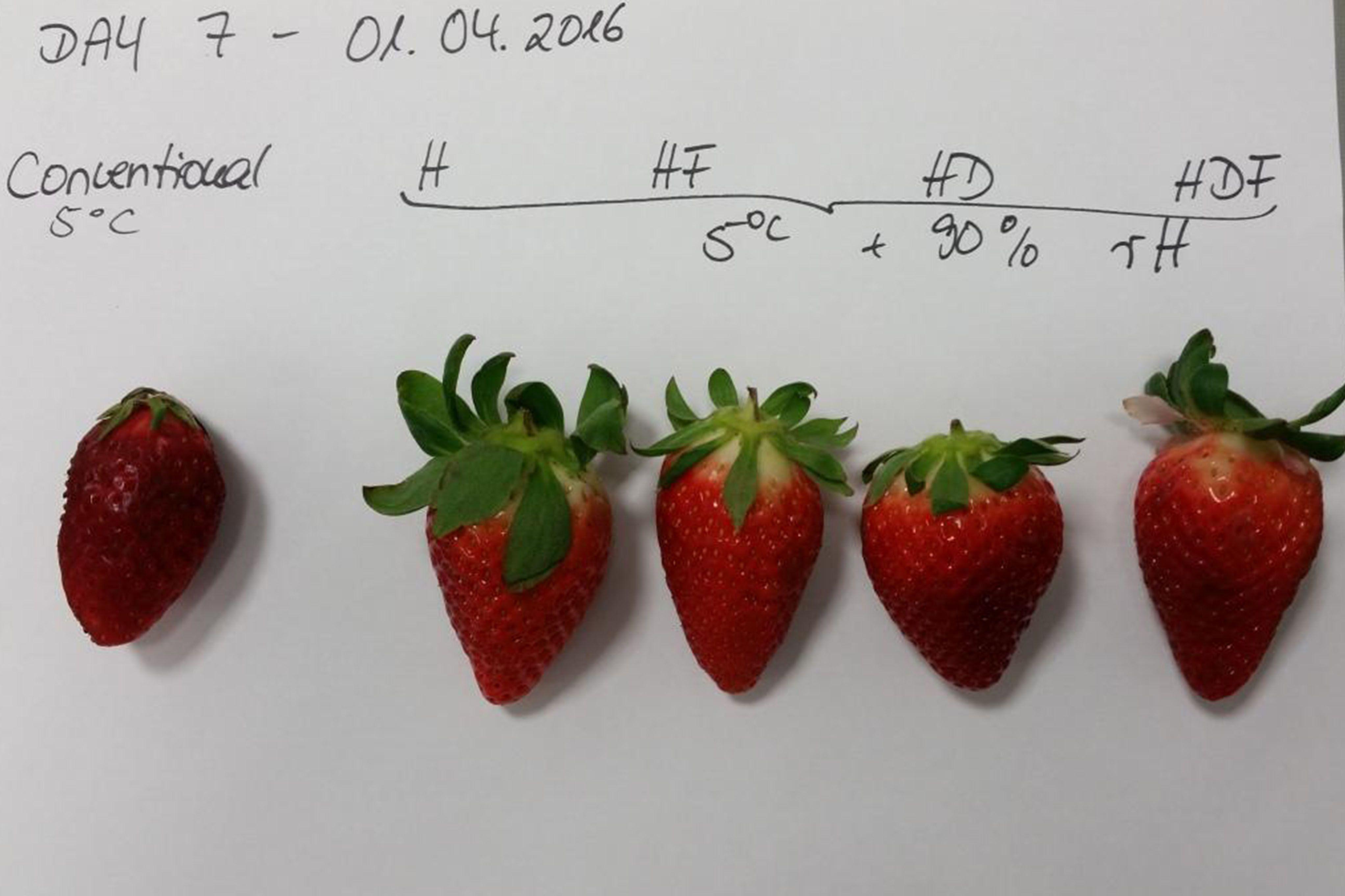 Demonstración fresh-demo: Comparación de fresas con humidificación ultrasónica vs transporte tradicional